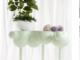 5x Ficus Pflanzen zu gewinnen - für besonders gute Luft Zuhause